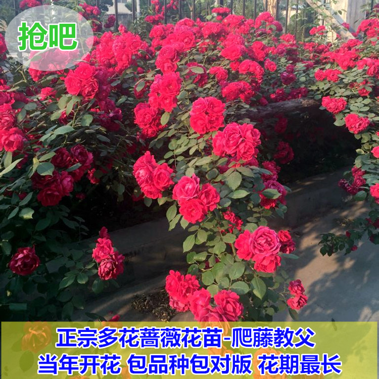 5 years seedlings balcony patio potted plants climbing rosa multiflora rose saplings climbing rose seedlings flowering seasons