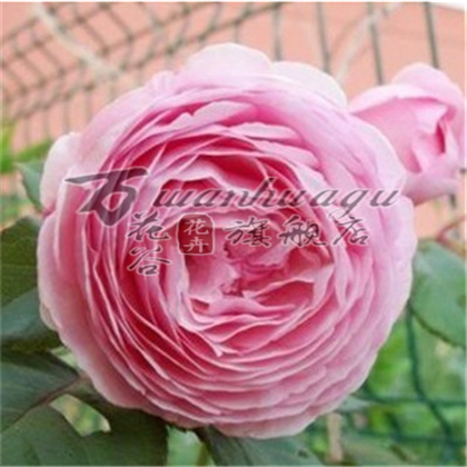 [Austin] climbing climbing rose seedlings flower garden balcony potted plant matter of flowering seasons easy to survive