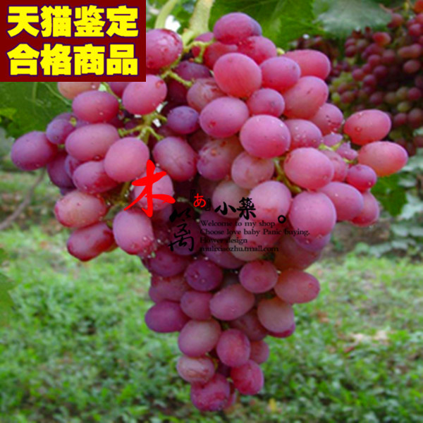 [Beijing show 16] grape trees drunk beauty means grape varieties of grape seedlings planted balcony