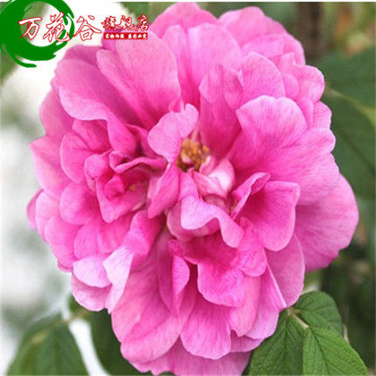 Boutique rose seedlings [damascus rose] europe may climbing flower garden balcony potted plants