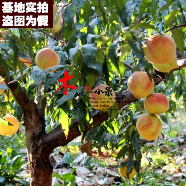 [China 15] potted fruit tree seedlings planted seedlings potted peach trees peach seedlings grafted seedlings nectarine peach seedlings