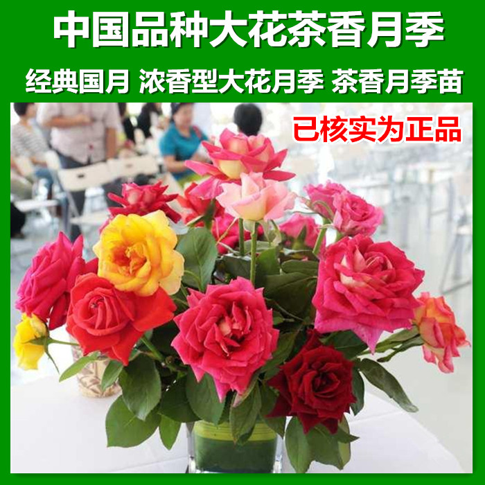 China varieties of rose seedlings potted flower plants flower rose rose garden rose seedlings flowering seasons