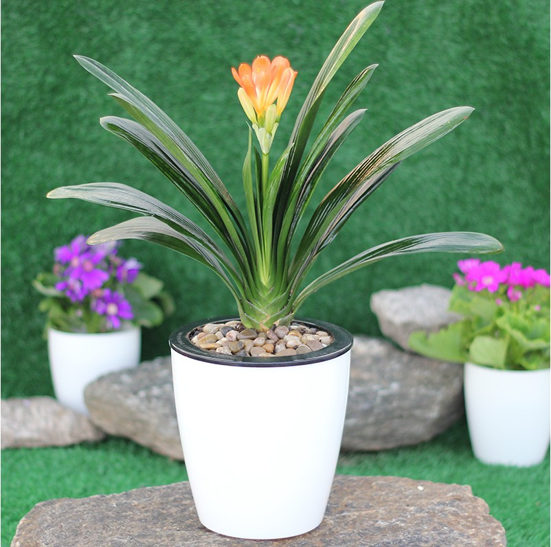 Clivia clivia seedlings potted seedlings boutique clivia phalaenopsis orchids orchid soil nutrition plant flowers round