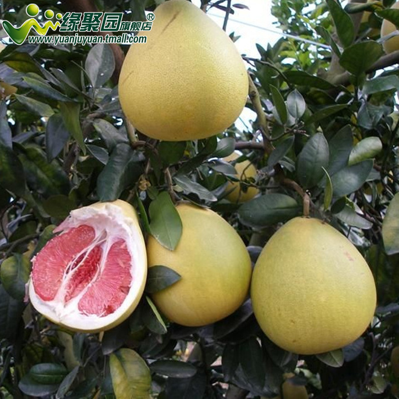 Emperor pomelo pomelo grapefruit red grapefruit grapefruit seedlings multiple varieties available selectophore to direct with soil shipments