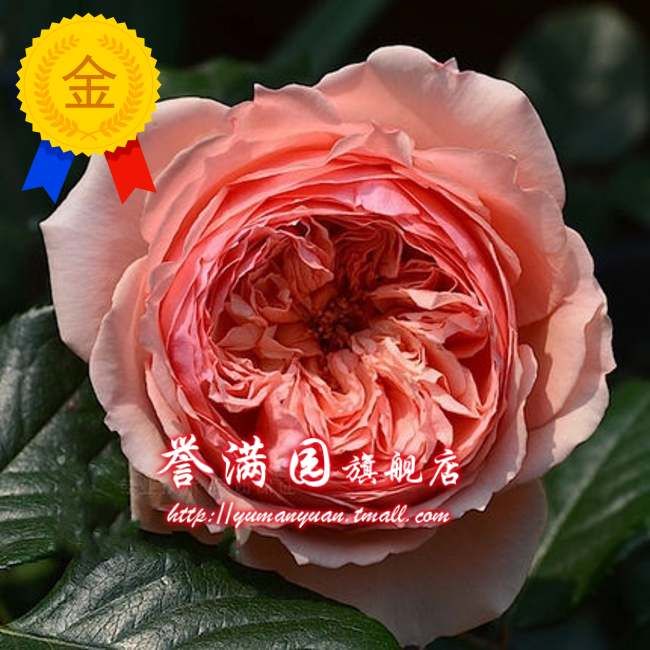 Europe may miao miao courtyard balcony potted plants real universe japan rose climbing rose seedlings flowering seasons