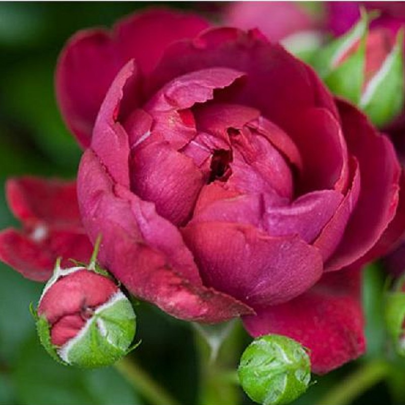 Europe rose floribunda hai gerui large climbing rose climbing rose seedlings big red velvet