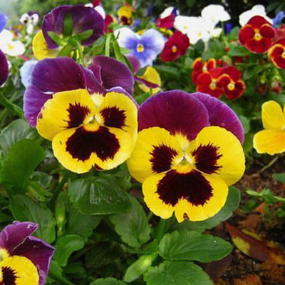 Flowers and flower seeds flower seed sowing seasons balcony patio plants pansy 20 tablets.