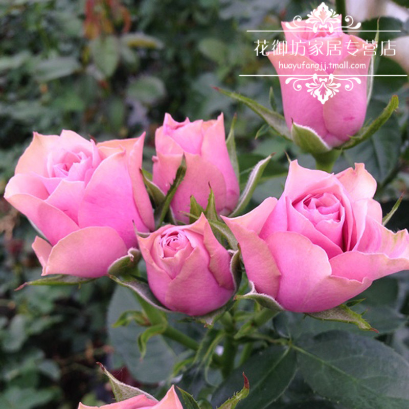 Flowers gobo home franchise stores archaized nosegay fenghua miniature rose flower rose seedlings potted flower garden