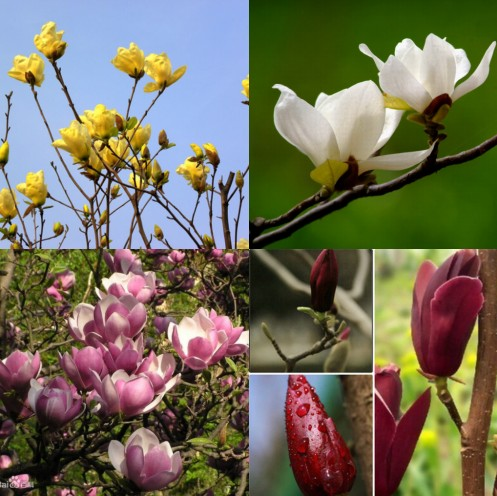 Free shipping patio plant trees/red and white huang yulan magnolia red magnolia trees seedlings/year flowering/magnolia seedling/