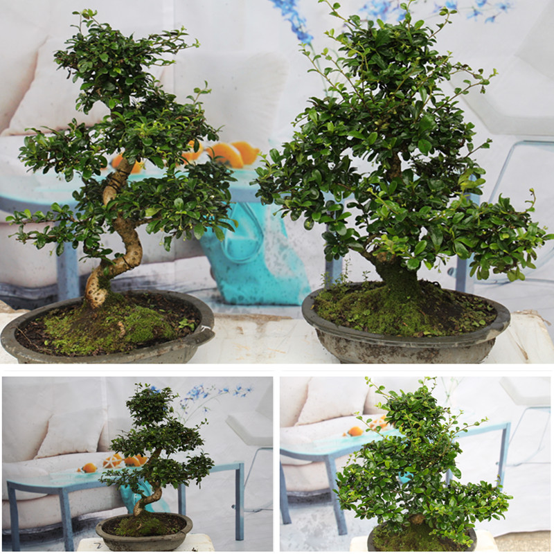 Fujian tea bonsai tree stump, Tea tree bonsai, Micro landscape modeling creative office desktop potted flowers camellia