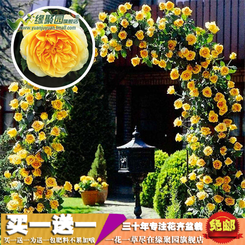 [Gold celebration] rosa multiflora rose saplings climbing climbing roses climbing rose rose rose rose seedlings potted plants flowers