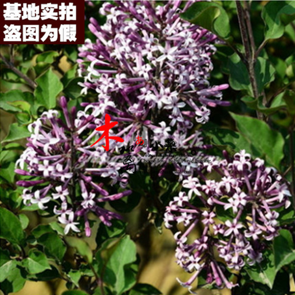 [Grimmia clove clove clove seedlings potted flowering plants saplings 16] courtyard strong smell