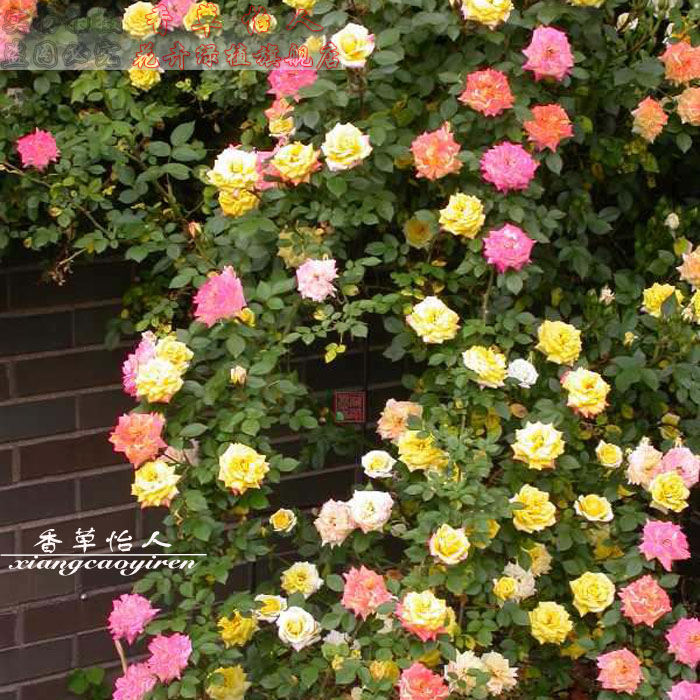 Ground cover plants rainbow vine climbing rosa multiflora rose seedlings repigmentation potted miniature rose rose vine