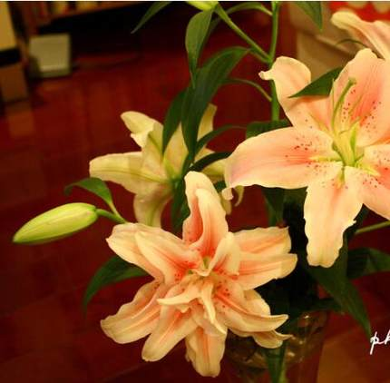 Indoor potted plants flower bulbs lily petals seedlings potted lily perfume lily bouquet