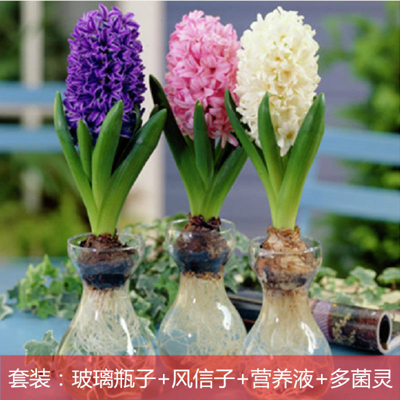 Interior office desktop plants potted plants hydroponic hyacinth glass set flower bulbs free shipping