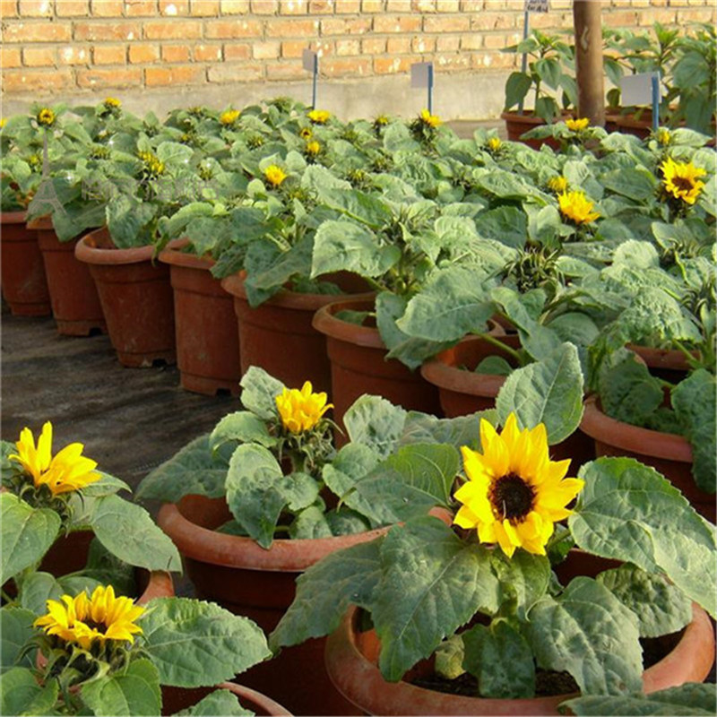 Large sunflower ornamental sunflower edible sunflower balcony patio potted plant mini plants trolltech