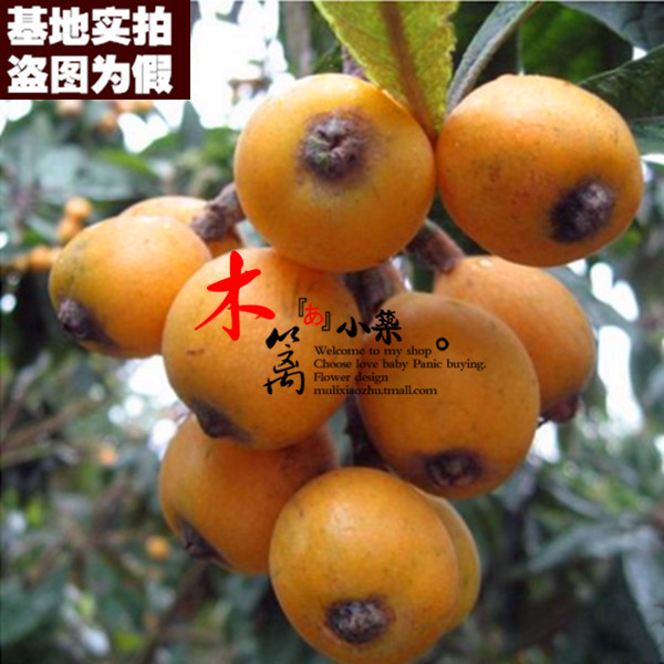 [Late star 15] loquat seedlings baisha pipa pipa tree trees flower seedlings garden plants