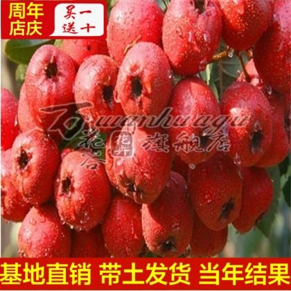 [Liaoning red] hawthorn hawthorn hawthorn seedlings balcony patio potted fruit tree seedlings planted seedlings base direct with soil shipments