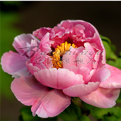 [More branches peony peony flower seedlings seedlings] authentic luoyang peony flower seedlings potted plant extracts rose rose scent