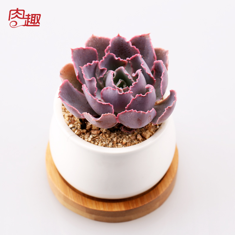 More meat and more meat meat fun sunset of dance succulents small potted plants fleshy indoor flower plants trolltech