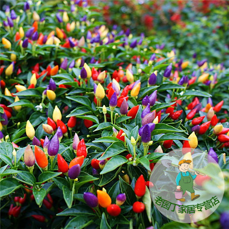 Multicolored ornamental pepper seed sowing seasons family balcony potted vegetable chili peppers 20 capsules