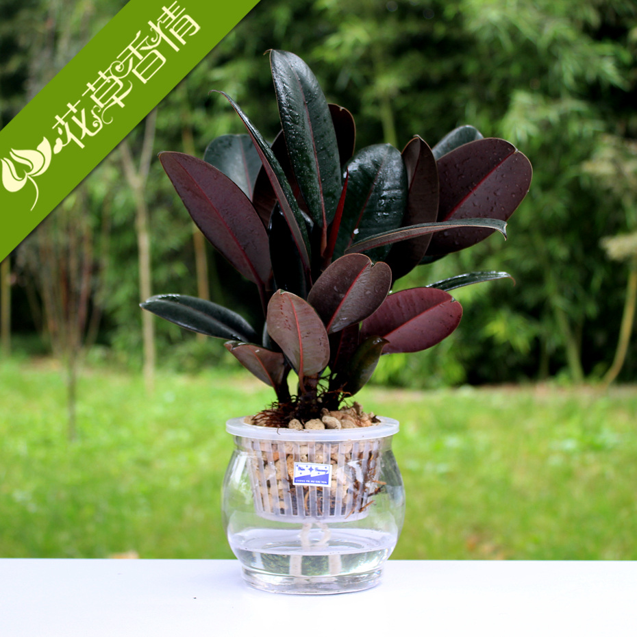 Office desktop plants indoor hydroponic plant flowers potted plants with pots suit small rubber tree kingbox