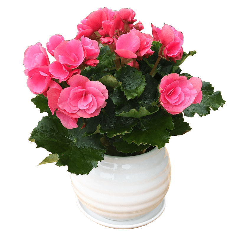 Get Quotations Over 200 Yuan From The Sale Begonia Flowers Balcony Easy To Keep And Beautiful Small Potted
