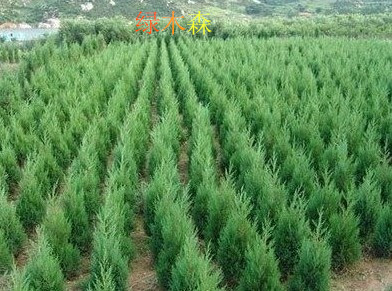 Pine and cypress cypress cypress pine tree pine cemetery. live christmas trees complete specifications sa jinbo