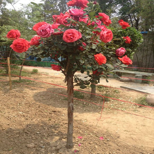 Planted potted rose tree rose tree seedlings surprising rare upscale flower aroma when flowering