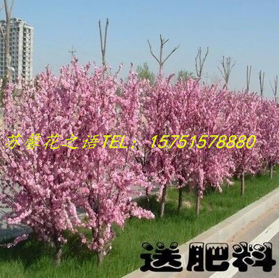 Potted flowers flower flowering plum trees flowering plum trees flowering plum seedlings flowering plum flower
