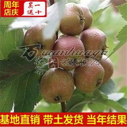 [Purple meat] hawthorn hawthorn hawthorn seedlings balcony patio potted fruit tree seedlings planted seedlings base direct with soil shipments