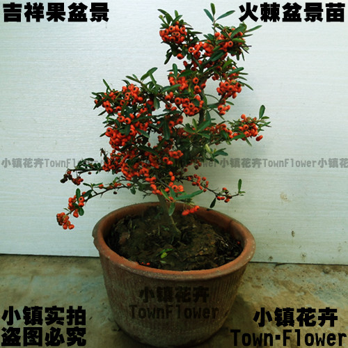 Pyracantha bonsai bonsai tree stump down the pile courtyard tree shape over hanging tree potted red berries
