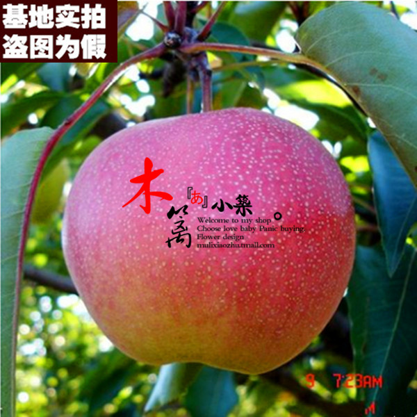 [Qin yang apple] potted/fruit tree seedlings planted columnar apple seedlings grafted apple seedlings when the knot