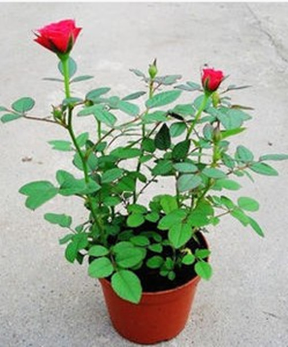 Rose rose seedlings when flowering potted indoor plants flower seedlings seasons easy to plant