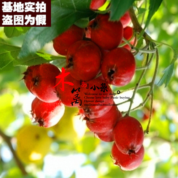 [Shan lihong 15] potted seedlings hawthorn hawthorn trees planted seedlings hawthorn hawthorn trees seedlings grafted fruit tree seedlings