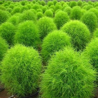 Spring sowing flower foliage kochia plants potted color package easy to kind of flower seeds 100 tablets.