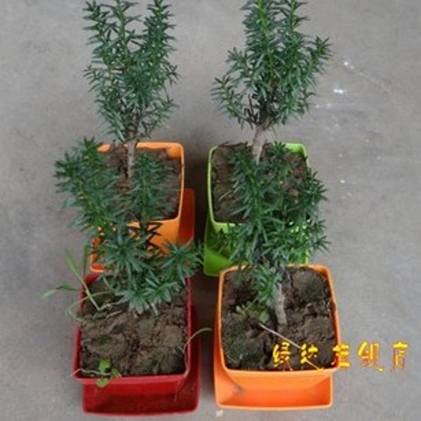 Taxus small radiation absorbing formaldehyde mini potted plant office desktop creative small bonsai