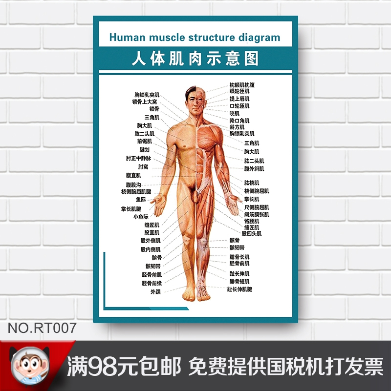 China Muscle Anatomy Human China Muscle Anatomy Human Shopping