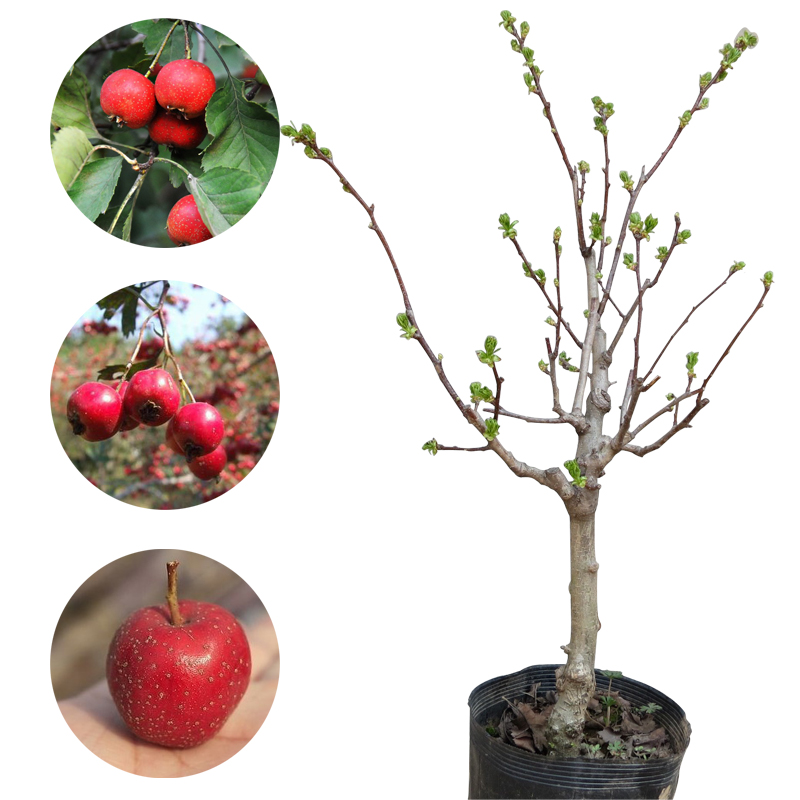 The whole network exclusive large venus hawthorn hawthorn grafted fruit tree seedlings potted plants bonsai tree stump old stumps hawkthorn