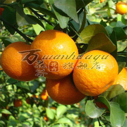 [Tiantaishan tangerine] orange orange seedlings potted fruit tree seedlings planted courtyard balcony plants and good taste suitable for the country