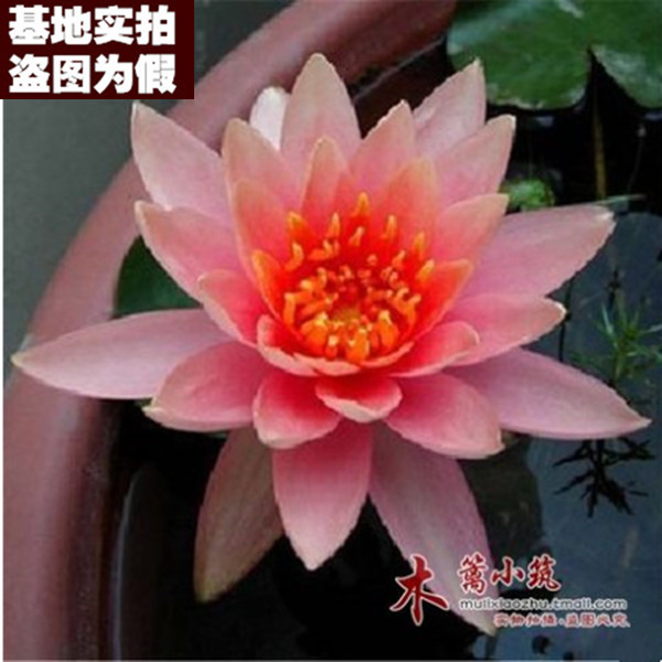 [Triple days 16] hydroponic plant bowl bowl lotus water lily root block summer potted ornamental water lily water lily water lily root block