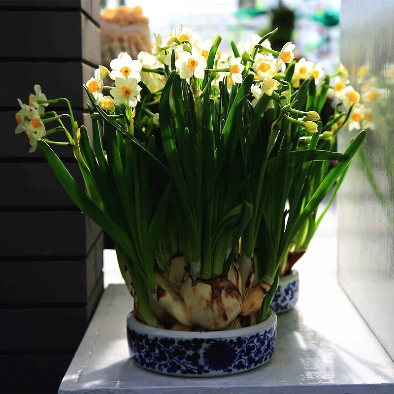Valley of flowers bath containing pots suit indoor potted daffodil bulbs potted narcissus hydroponic aquatic plants hydroponic plants purify the air