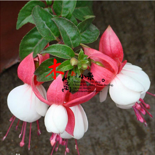 [White] ball potted indoor flower fuchsias hanging zhonghai tang miao/bell flower/lanterns begonia