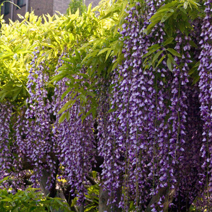 Wisteria seedlings wisteria climbing lianas courtyard balcony plants potted flowers potted plants seedlings wisteria