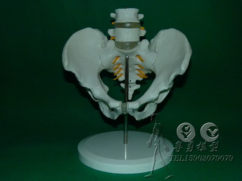 Two sections of the human body belt lumbar disc herniation with spinal nerve model of human spine human pelvisacrum model