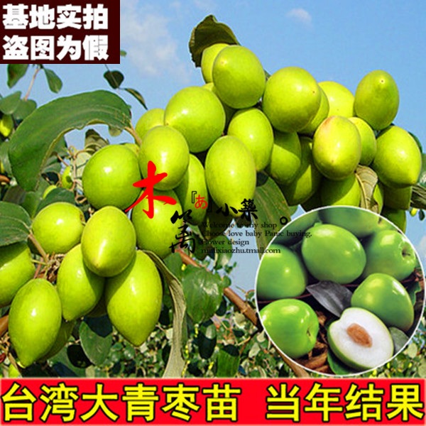 [15] if the taiwan's big jujube trees grafted fruit tree seedlings jujube jujube jujube dates miao miao courtyard balcony potted plants