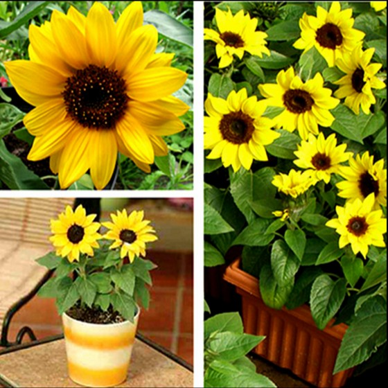 18 yuan shipping large sunflower dwarf sunflower edible sunflower ornamental sunflower ornamental sunflower flower