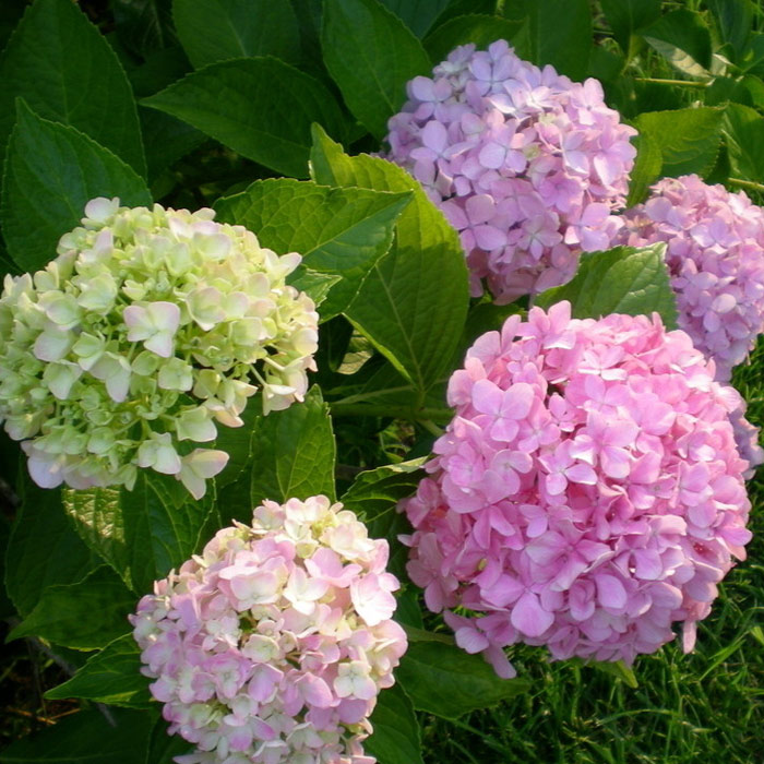 3 free shipping when flowering potted flower plants saplings hydrangea hydrangea macrophylla hydrangea balcony patio plants