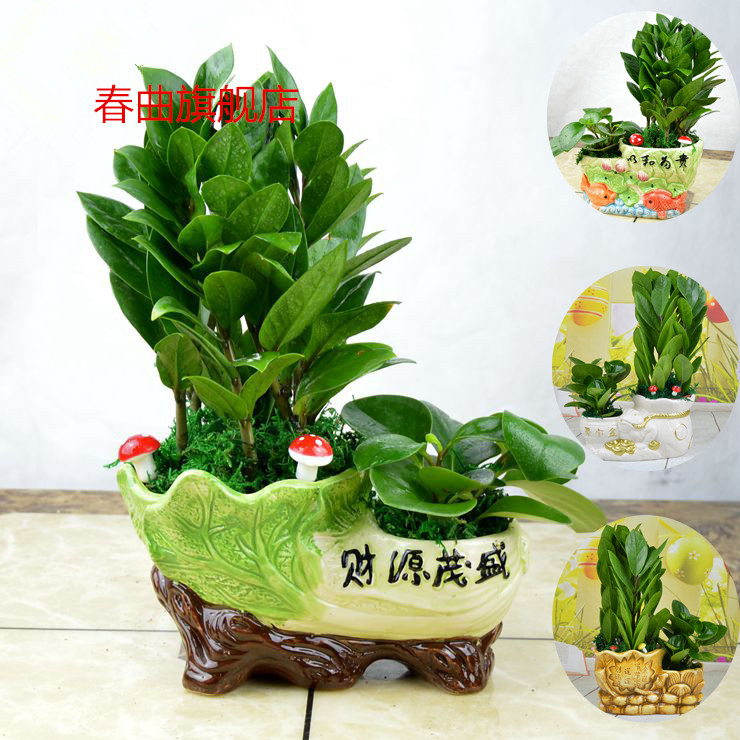 Combination of potted plants indoors desk pachira lucky bamboo plants free shipping
