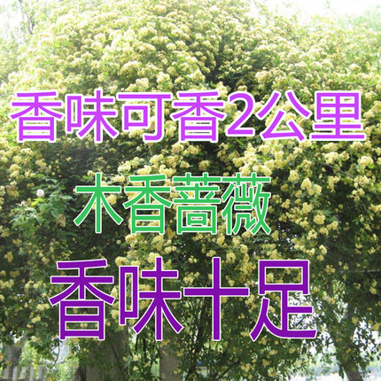 Courtyard pungent shilixiang woody climbing plant rosaceous yellow white flowers potted woody saplings